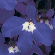 Лобелия Ривьера синяя с глазком /200 семян (драже)/ *Pan American*