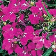 Лобелия Ривьера темно-розовая /200 семян (драже)/ *Pan American*