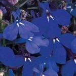 Лобелия Ривьера темно-синяя /200 семян (драже)/ *Pan American*
