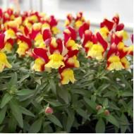 Львиный зев Снеппи F1 красно-желтый /100 семян/ *Hem Genetics*