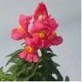 Львиный зев Снеппи F1 розовый /100 семян/ *Hem Genetics*