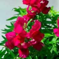 Львиный зев Снеппи F1 фиолетовый /100 семян/ *Hem Genetics*