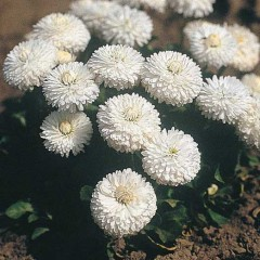Маргаритка Рогли белая /1.000 семян/ *Benary*