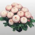 Маргаритка Хабанера розовая /250 семян/ *Benary*