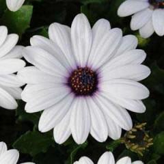 Остеоспермум Акила белый /100 семян/ *Pan American*