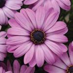 Остеоспермум Акила лавандовый /100 семян/ *Pan American*