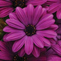 Остеоспермум Акила пурпурный /100 семян/ *Pan American*