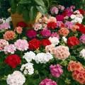 Пеларгония зональная Маверик F1 смесь /100 семян/ *Syngenta Seeds*