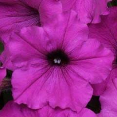 Петуния ампельная Изи Вэйв F1 фиолетовая /100 семян/ *Pan American*
