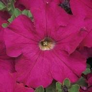 Петуния Дримс неон-розовая /1.000 семян/ *Pan American*