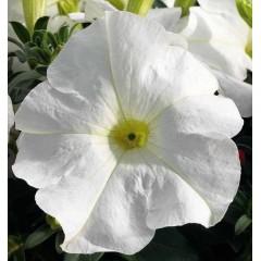 Петуния карликовая грандифлора Ультра F1 белая /1.000 семян/ *Syngenta Seeds*