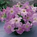 Петуния карликовая грандифлора Ультра F1 лиловая /1.000 семян/ *Syngenta Seeds*