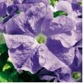 Петуния карликовая грандифлора Ультра F1 небесно-синяя /1.000 семян/ *Syngenta Seeds*
