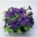 Петуния карликовая грандифлора Ультра F1 синяя /1.000 семян/ *Syngenta Seeds*