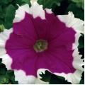 Петуния карликовая грандифлора Фрост F1 вельвет /1.000 семян/ *Syngenta Seeds*