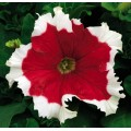 Петуния карликовая грандифлора Фрост F1 красное пламя /1.000 семян/ *Syngenta Seeds*
