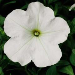 Петуния карликовая мультифлора Ура F1 белая /1.000 семян/ *Syngenta Seeds*