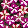 Петуния Ура F1 звездная смесь /1.000 семян/ *Syngenta Seeds*