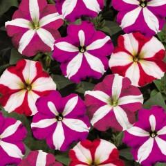 Петуния карликовая мультифлора Ура F1 звездная смесь /1.000 семян/ *Syngenta Seeds*