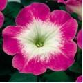 Петуния карликовая мультифлора Ура F1 корал флеш /1.000 семян/ *Syngenta Seeds*