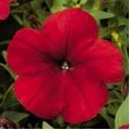 Петуния Ура F1 красная /1.000 семян/ *Syngenta Seeds*