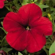 Петуния карликовая мультифлора Ура F1 красная /1.000 семян/ *Syngenta Seeds*