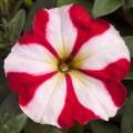 Петуния карликовая мультифлора Ура F1 красная звезда /1.000 семян/ *Syngenta Seeds*