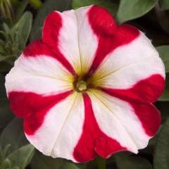 Петуния Ура F1 красная звезда /1.000 семян/ *Syngenta Seeds*