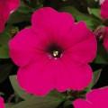 Петуния карликовая мультифлора Ура F1 розовая /1.000 семян/ *Syngenta Seeds*