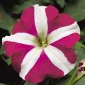 Петуния карликовая мультифлора Ура F1 розовая звезда /1.000 семян/ *Syngenta Seeds*