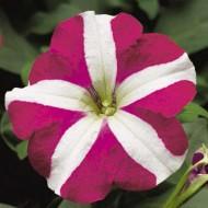 Петуния Ура F1 розовая звезда /1.000 семян/ *Syngenta Seeds*