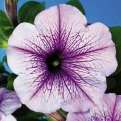 Петуния карликовая мультифлора Ура F1 синяя с прожилками /1.000 семян/ *Syngenta Seeds*