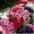 Петуния карликовая мультифлора Ура F1 смесь /1.000 семян/ *Syngenta Seeds*