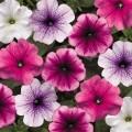 Петуния карликовая мультифлора Ура F1 смесь с прожилками /1.000 семян/ *Syngenta Seeds*