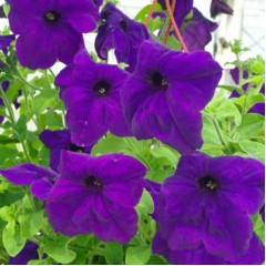 Петуния каскадная грандифлора Самба F1 синяя /100 семян/ *Hem Genetics*