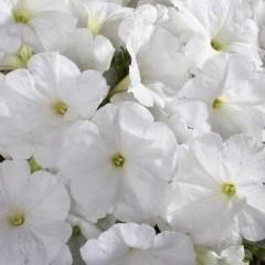 Петуния мультифлора Селебрети F1 белая /1.000 семян/ *Benary*