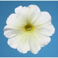 Петуния мультифлора Селебрети F1 желтая /1.000 семян/ *Benary*