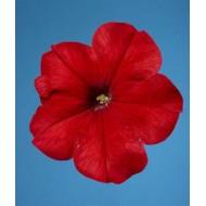 Петуния мультифлора Селебрети F1 красная /1.000 семян/ *Benary*