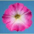 Петуния мультифлора Селебрети F1 малиновое утро /1.000 семян/ *Benary*