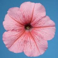 Петуния мультифлора Селебрети F1 персиковый снег /1.000 семян/ *Benary*