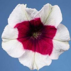 Петуния Селебрети F1 розовое пикоте /1.000 семян/ *Benary*