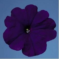 Петуния мультифлора Селебрети F1 синяя /1.000 семян/ *Benary*