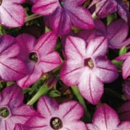 Табак крылатый Саратога F1 пурпурный /200 семян/ *Syngenta Seeds*