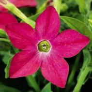 Табак крылатый Саратога F1 розовый /200 семян/ *Syngenta Seeds*