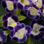Торения Кауай бело-голубая /100 семян/ *Pan American*