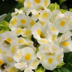 Торения Кауай лимонная /100 семян/ *Pan American*
