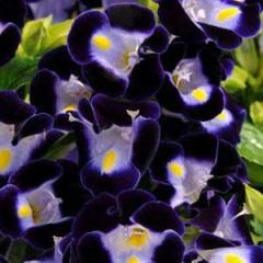 Торения Кауай темно-синяя /100 семян/ *Pan American*