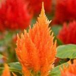 Целозия Айс Крем оранжевая /100 семян/ *Pan American*