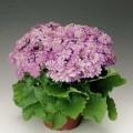 Перикаллис Венеция F1 лиловый /100 семян/ *Syngenta Seeds*