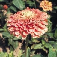 Циния Гиганты Бенари лососево-розовая /100 семян/ *Benary*